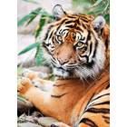 Puzzle 1000 pièces tigre